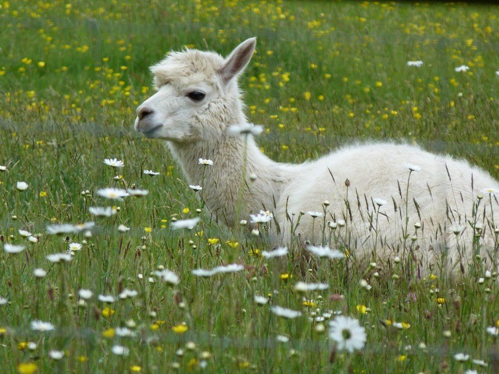 Ausruhen nach einer Alpaka Wanderung